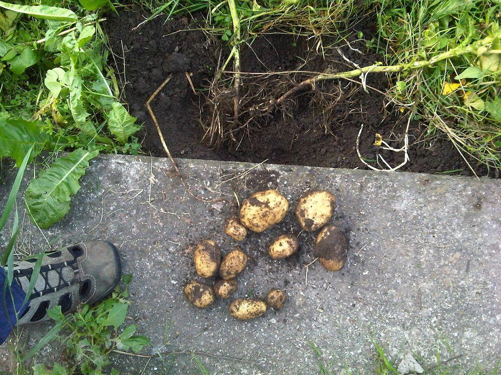 kartoffel ernte 2013_smal