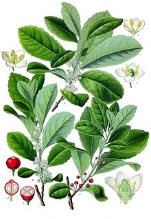 "Where does the name come from?  The name ""MATE"", pronounced Ma-Tay, comes from yerba maté, a species of holly native to subtropical South America. Its leaves contain caffeine and are used to make infusions and a beverage called mate."